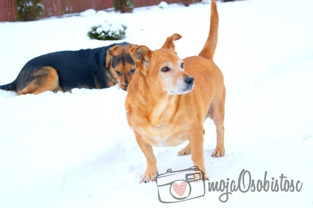 zimowa sesja psów