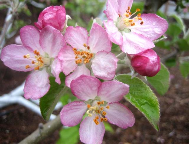 [Image: apple-blossoms.jpg]