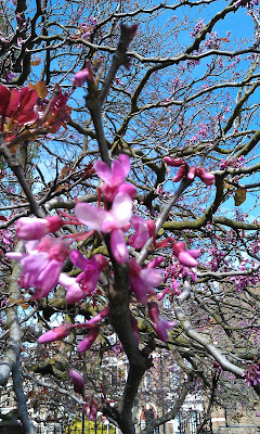 Judas Tree A Couple Of Weeks Later