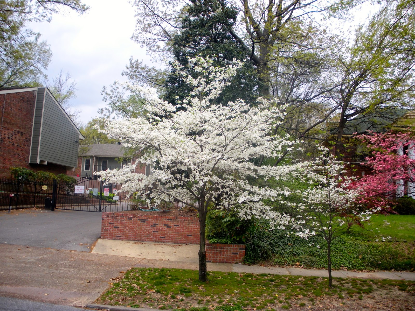 There Was Another Large White Dogwood On Central The North Side East Of Belvedere