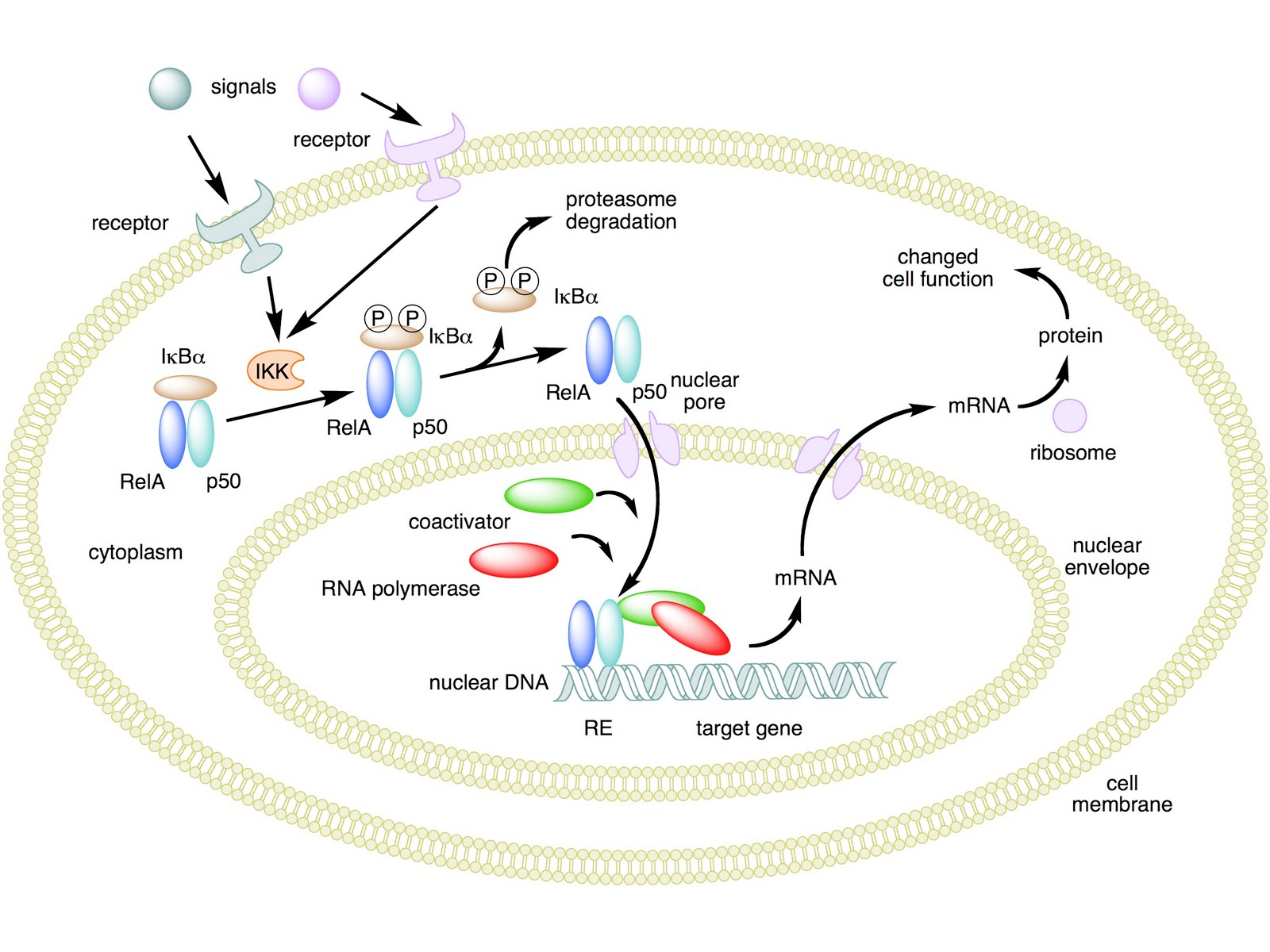 steroids inhibit immune response