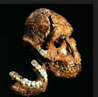 Gambar Pithecanthropus Erectus