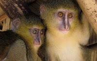 Spesies Monyet Baru Ditemukan di Afrika
