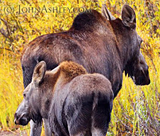 Moose cow and calf in October (c) John Ashley