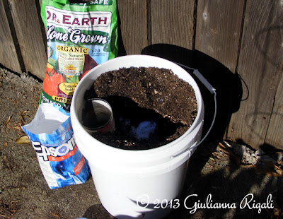 Mixing up the soil for the mystery tomato plant.