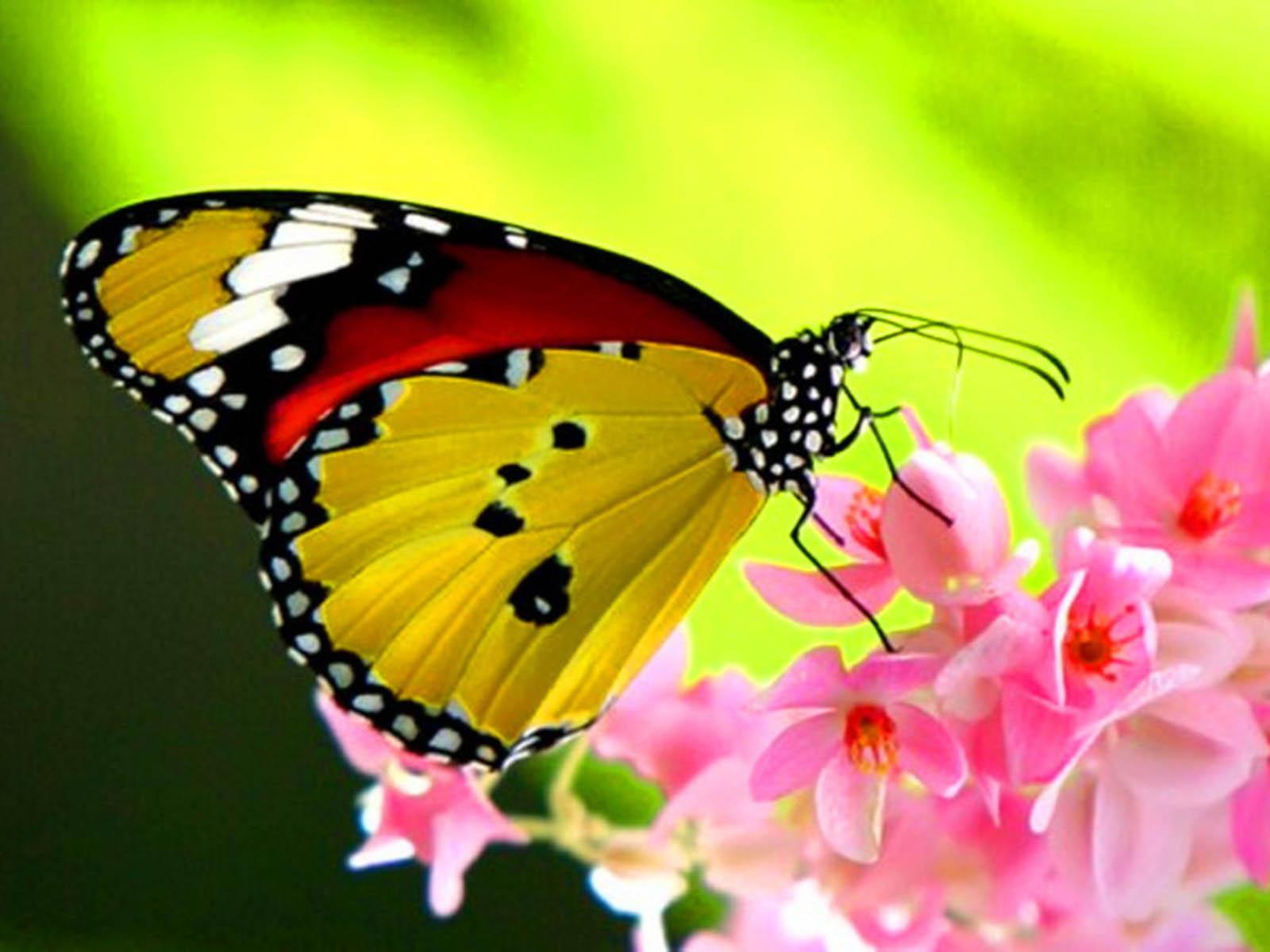 beautiful butterfly hd desktop - photo #14