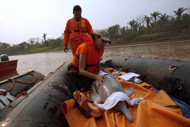 Спасение боливийского речного дельфина