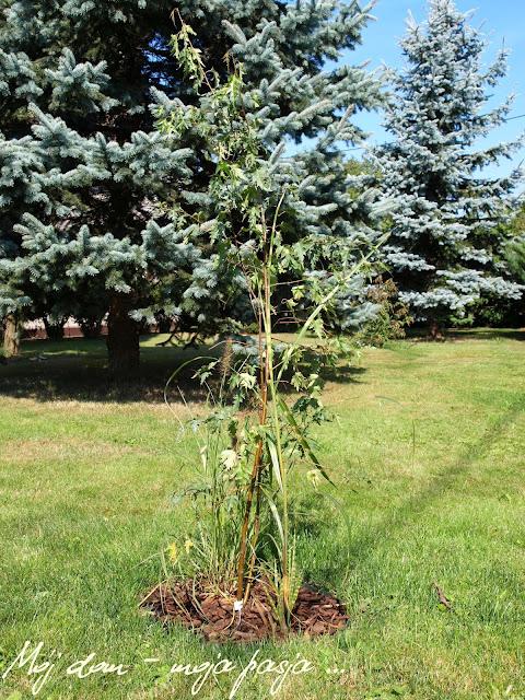 mój dom moja pasja, blog, ogród, drzewa, krzewy, uprawa, działkowiec