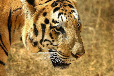 Classy-Tiger-Face-CloseUp