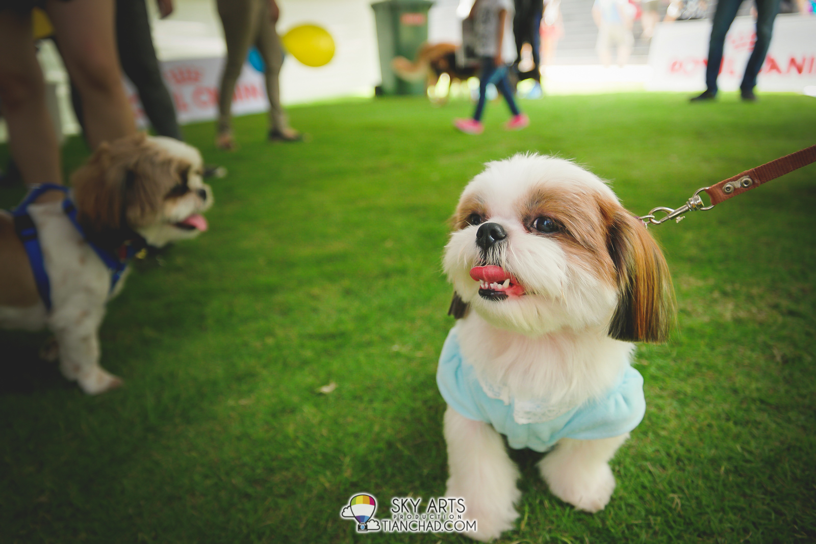 Shih Tzu with his hair trimmed