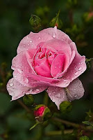 Una rosa para Julia, por siempre...♥
