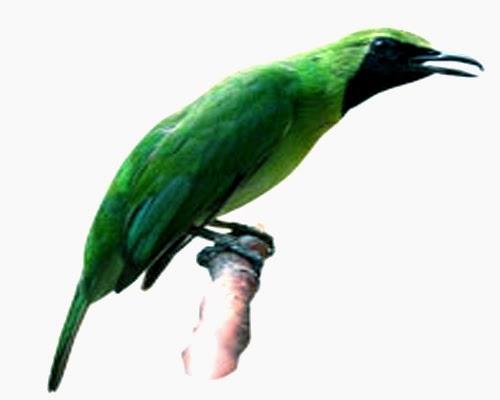 Burung jenis cucak hijau