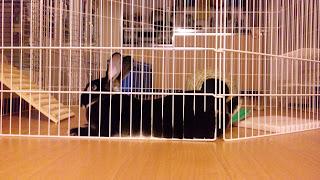 寝そべるうさぎ、ミニレッキスのモモタス