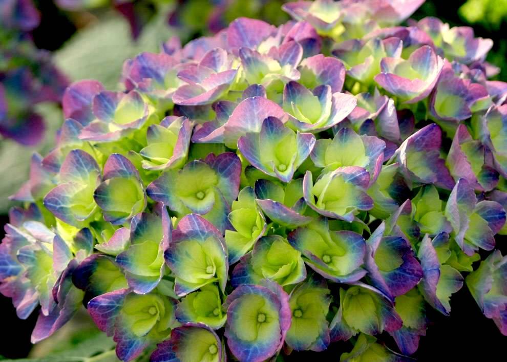 Il mondo in un giardino adorabili ortensie for Colore ortensia