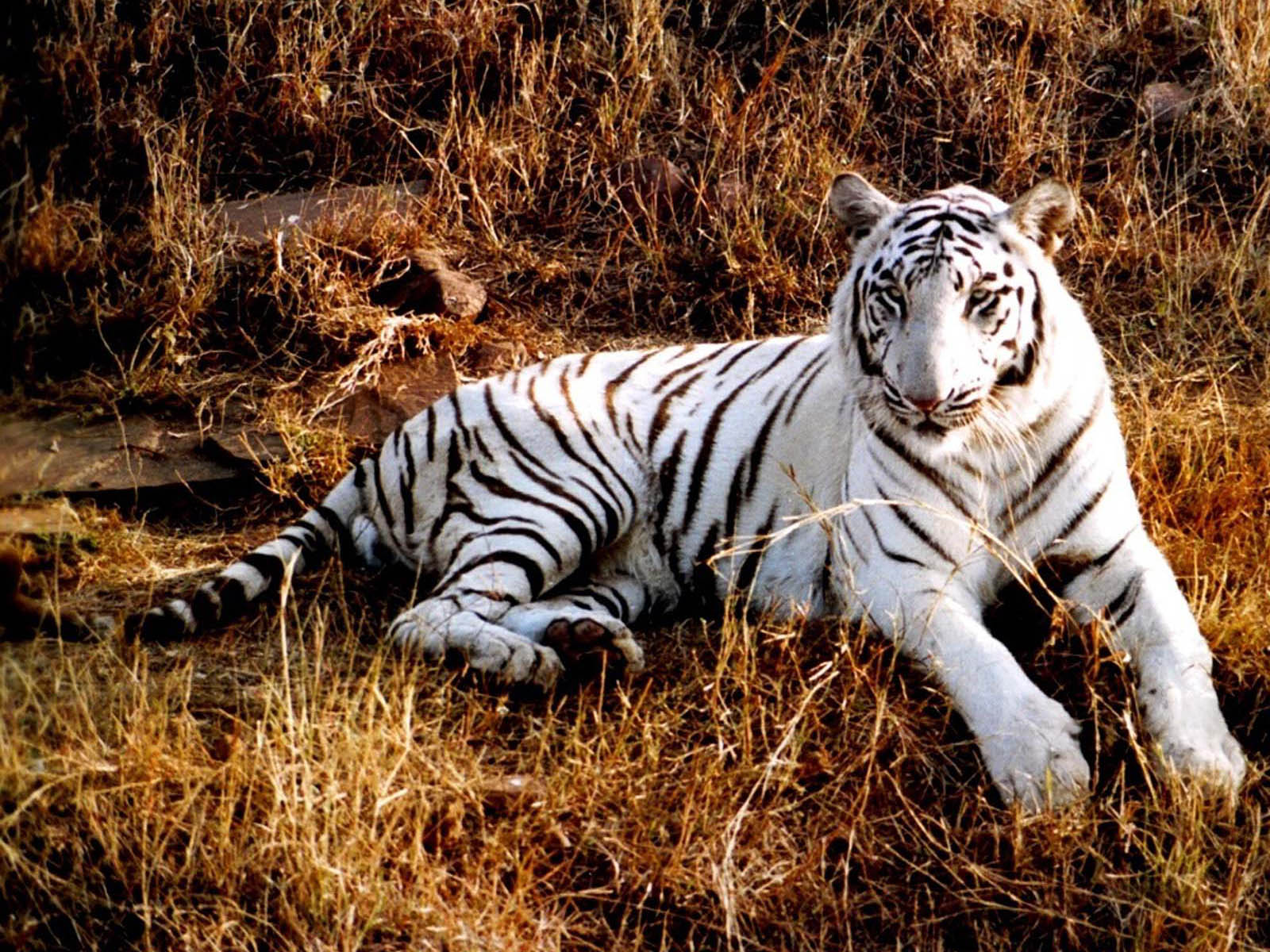 white tiger animal wallpaper - photo #3