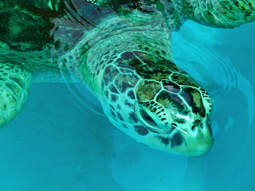 Sea Turtle at the Royal Thai Navy Conservation Center