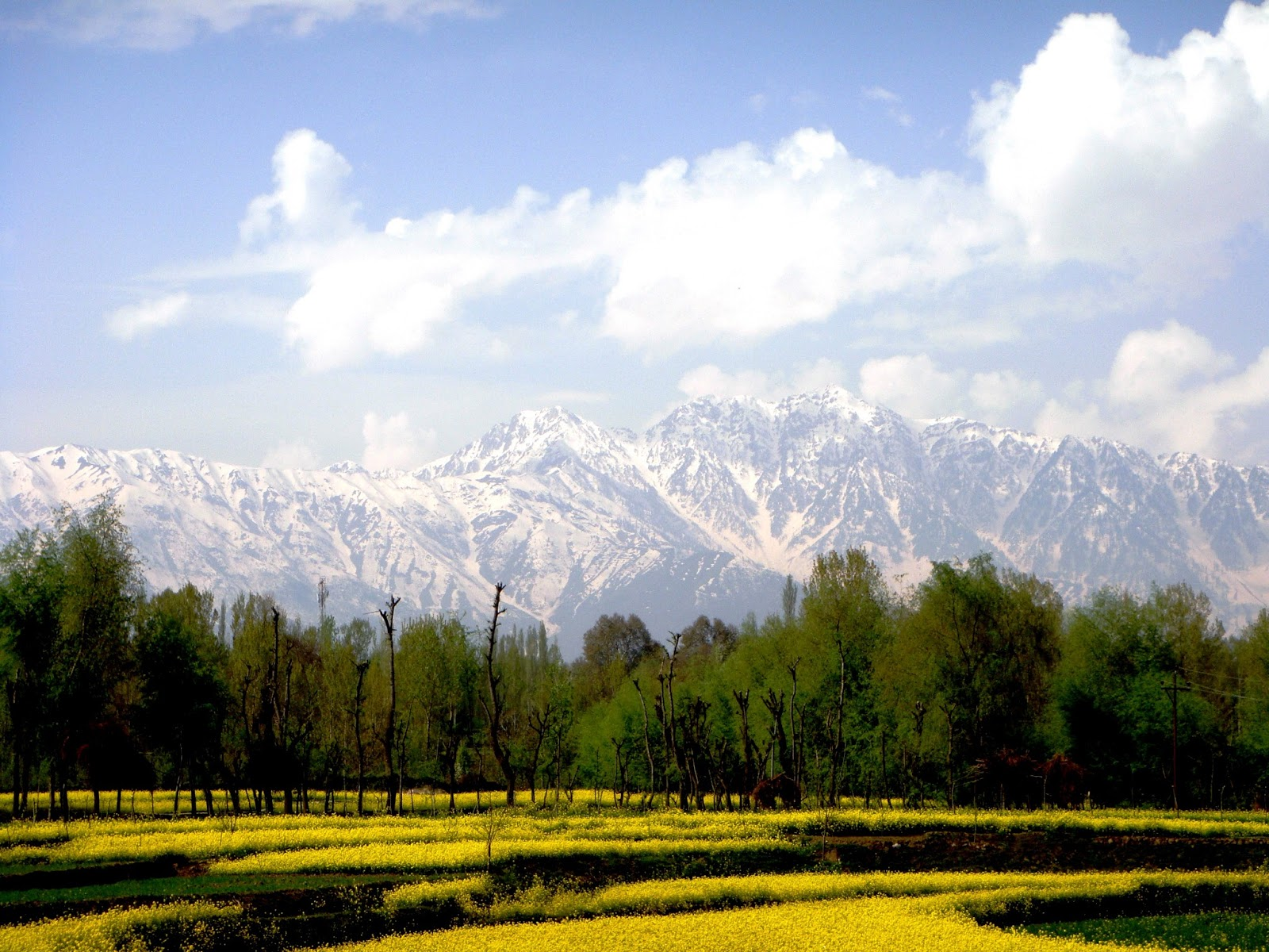 Chinar Shade Mustard Flowers Bloom In Spring Season Of Kashmir