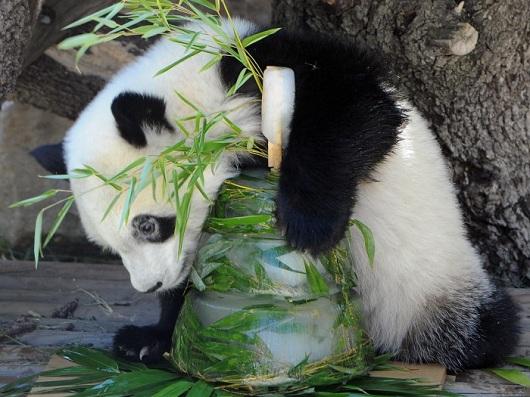 Little Pets Pet Hotel  Pandas completam 1 ano em zoo da Espanha