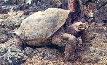 Ползущая черепаха
