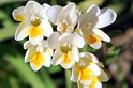 Fotografías de las flores de la Freesia Alba
