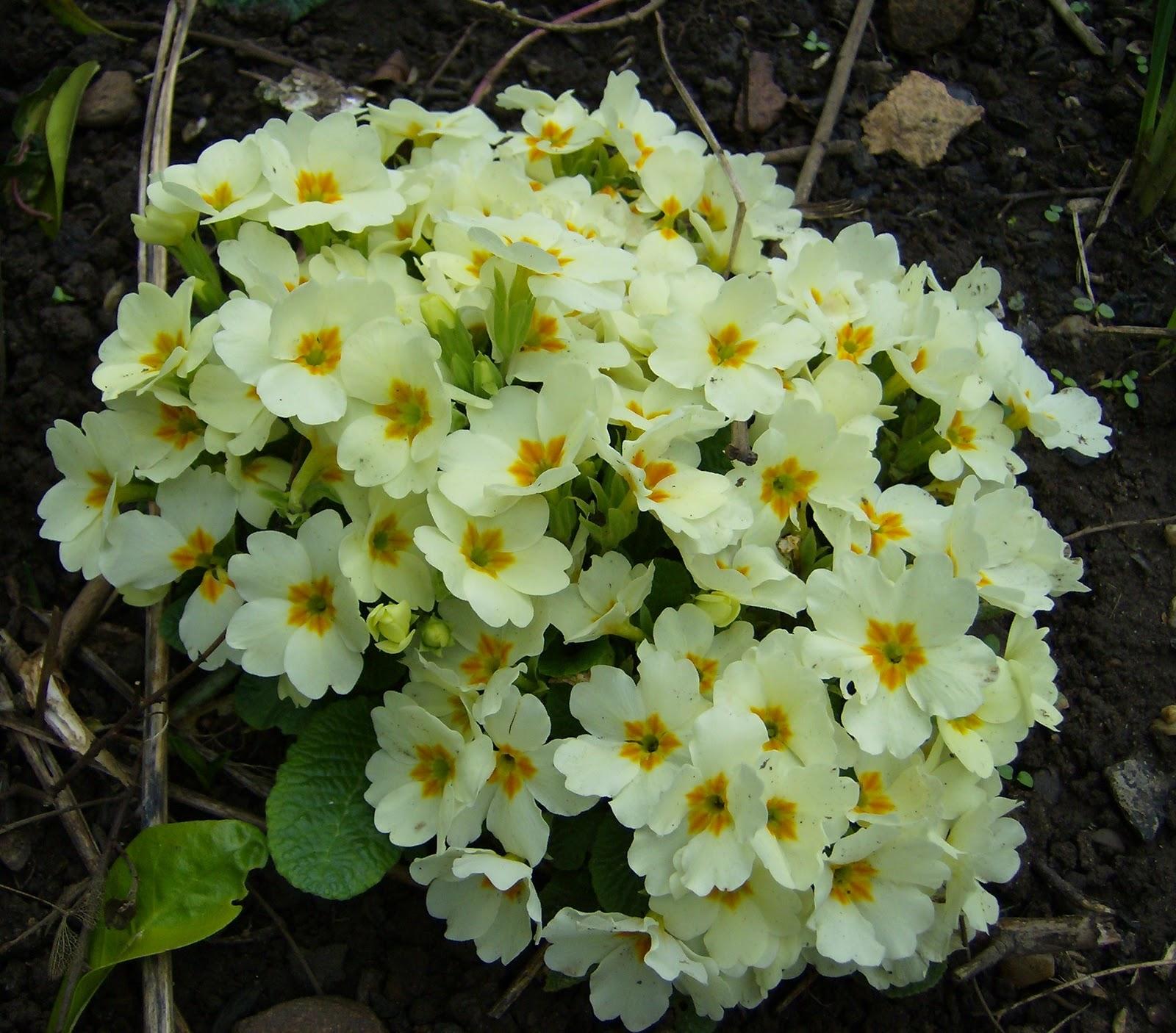 Love My Garden Primroses and Polyantha