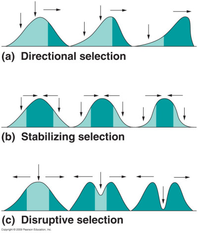 Directional Effect Of Natural Selection