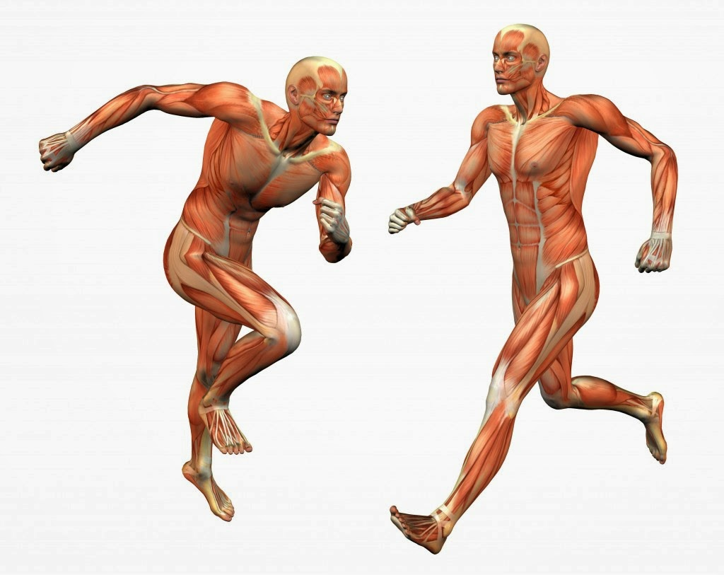 Tipuri de fibre musculare scheletice