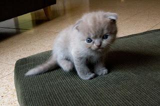 Scottish Fold Cat Picture
