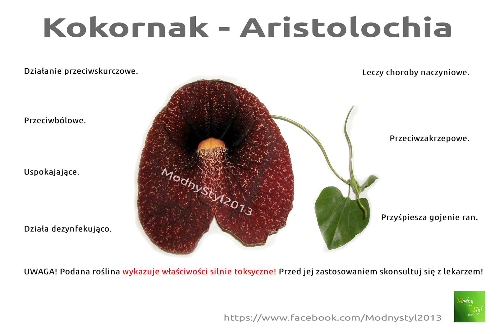 Kokornak Aristolochia