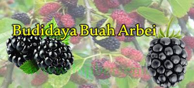 arbei, blackberry, murberry, murbei