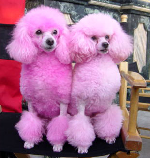 Z Poodles colored miniature poodles