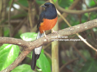 White rumped Sharma in Bidadari