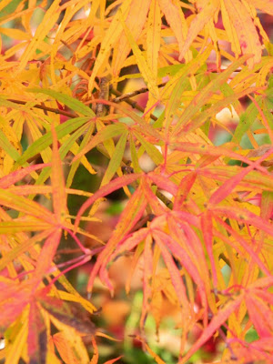 Fall foliage Acer palmatum linearlobum Japanese maple at Toronto Botanical Garden by garden muses-not another Toronto gardening blog