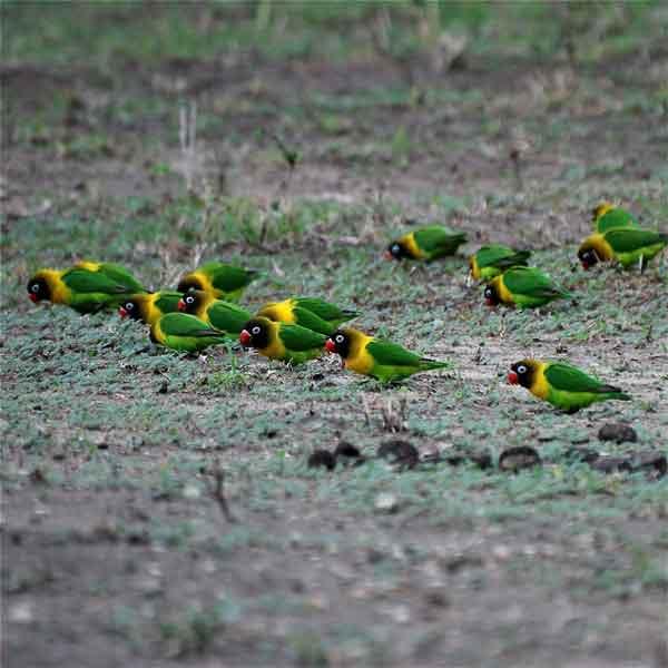Habitat Lovebird Di Alam Perbukitan