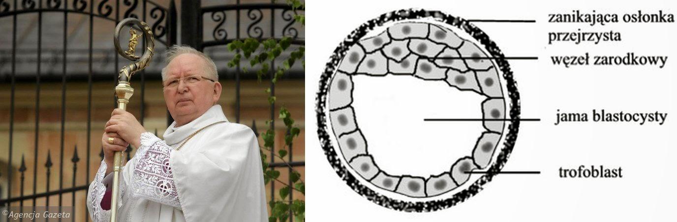 Bp Ryczan i blastocysta