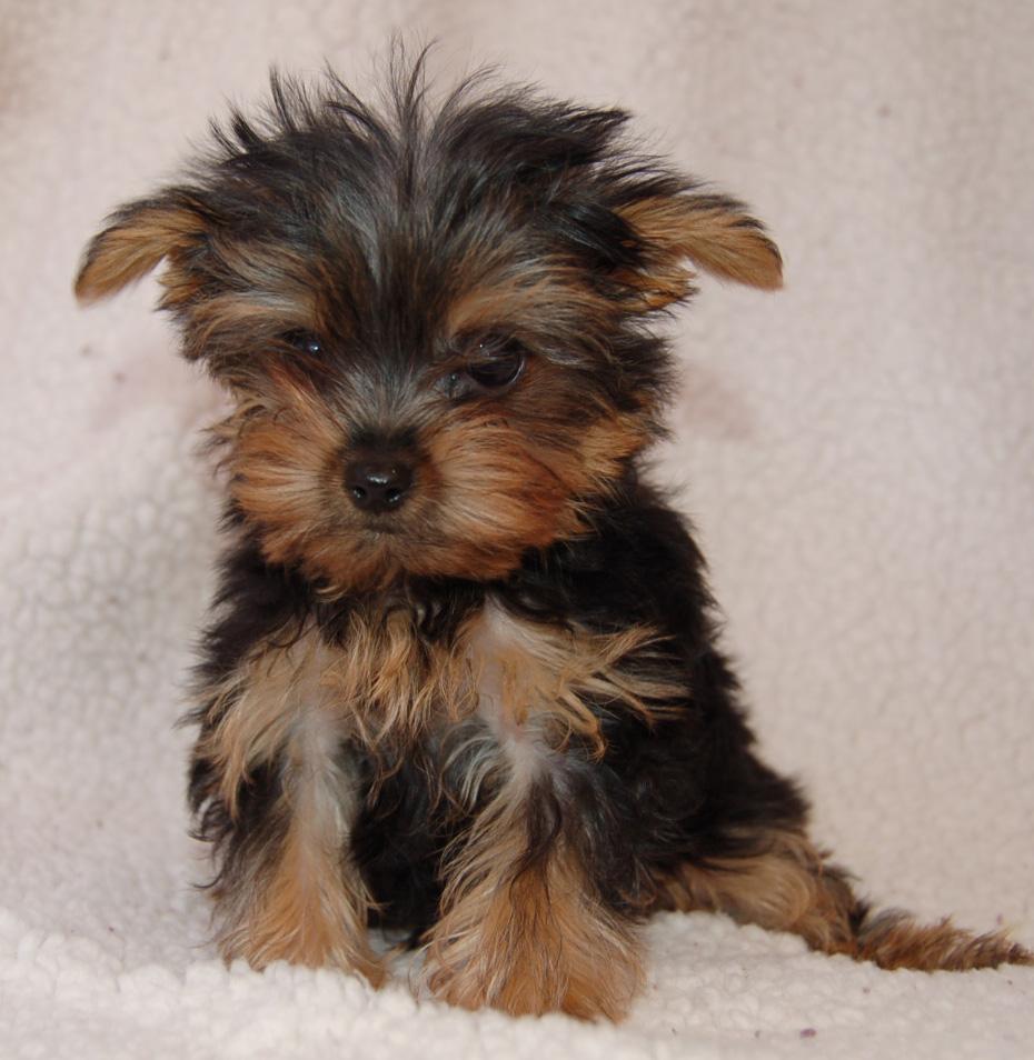 Dachshund Yorkie Mix Full Grown Mini dachshund full grown.