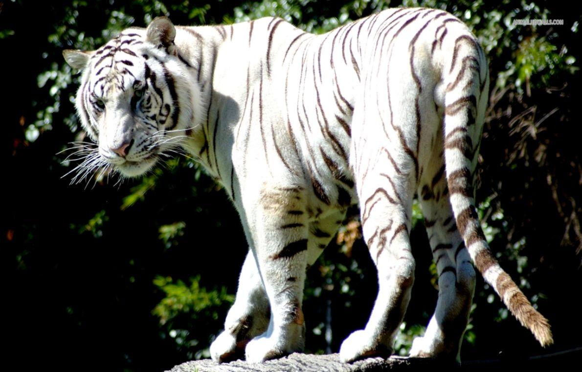 White Bengal Tiger wallpaper 1215