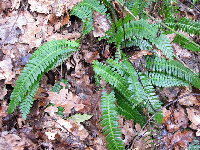 Hard Fern, Blechnum spicant. Toys Hill, 3 March 2012.