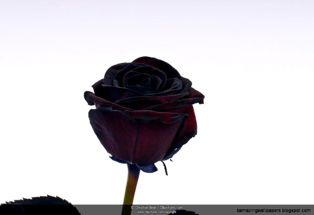 PhotoPicture Black Rose Rosa against a white background Image