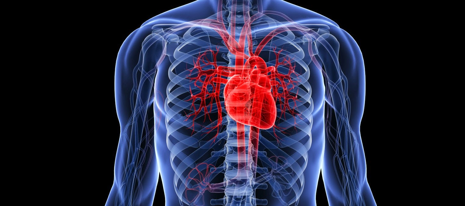 New research pinpoints crucial protein that keeps the heart beating on time