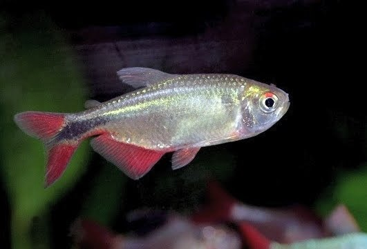 Buenos Aires Tetra Fish With Photos Fish Pictures Online