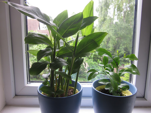 Cardamom and kaffir lime enjoying the view from the computer room