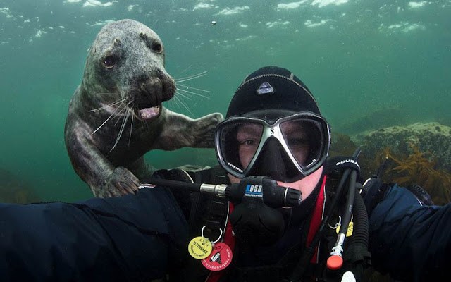A diver takes picture with seal, seal photo