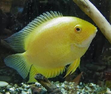 Information About Severum Fish