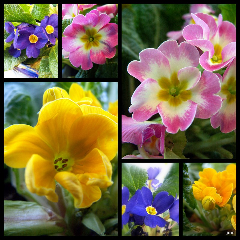 Primrose Good Witches Magickal Flowers And Herbs