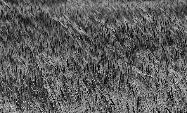 Monochrome photography grainfield