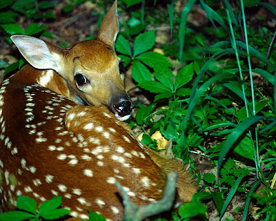 white-tailed deer, fawn, Bambi, spots