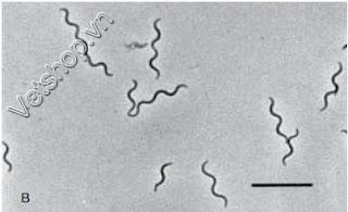 Xoắn khuẩn B. hyodysenteriae dưới kính hiển vi nền đen