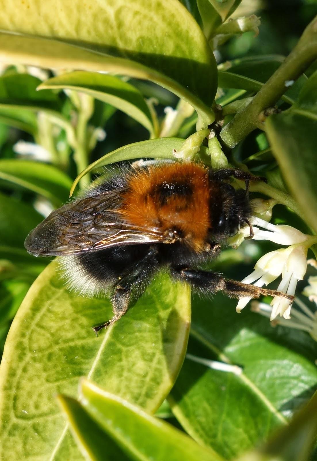 urban pollinators identifying common bumblebee queens