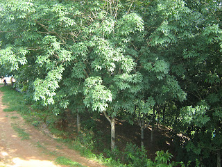 Roadside rubber plantation
